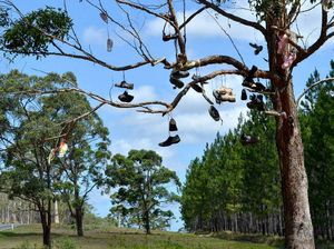 Gympie's backpackers' tree, an icon or an eyesore?