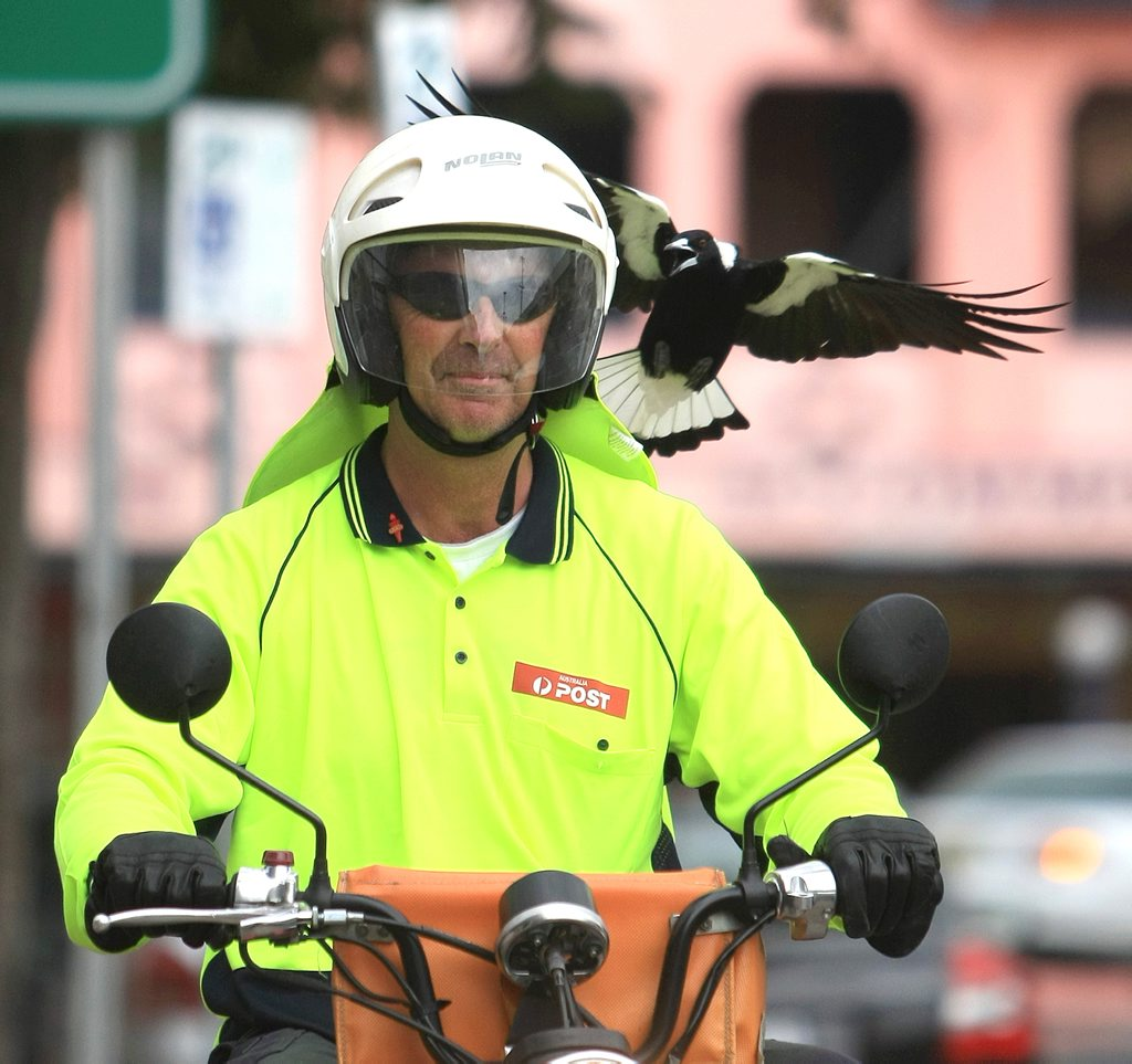 PHOTO SCOTT POWICK TWEED DAILY NEWS - Postman Gary Lamont from Murwillumbah Post Office gets attacked by Stanley the Magpie in the Main street of Murwillumbah
