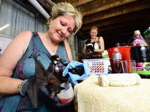 Bat carer fears death toll could climb a lot higher