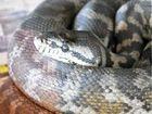 Slithering serpent decimates coop