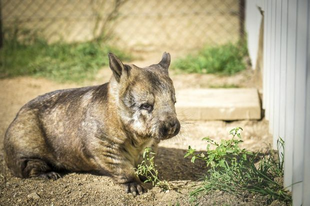 Tjuka the wombat, part of a breeding program at Australian Animal Care and Education's not-for-profit organisation Safe Haven.