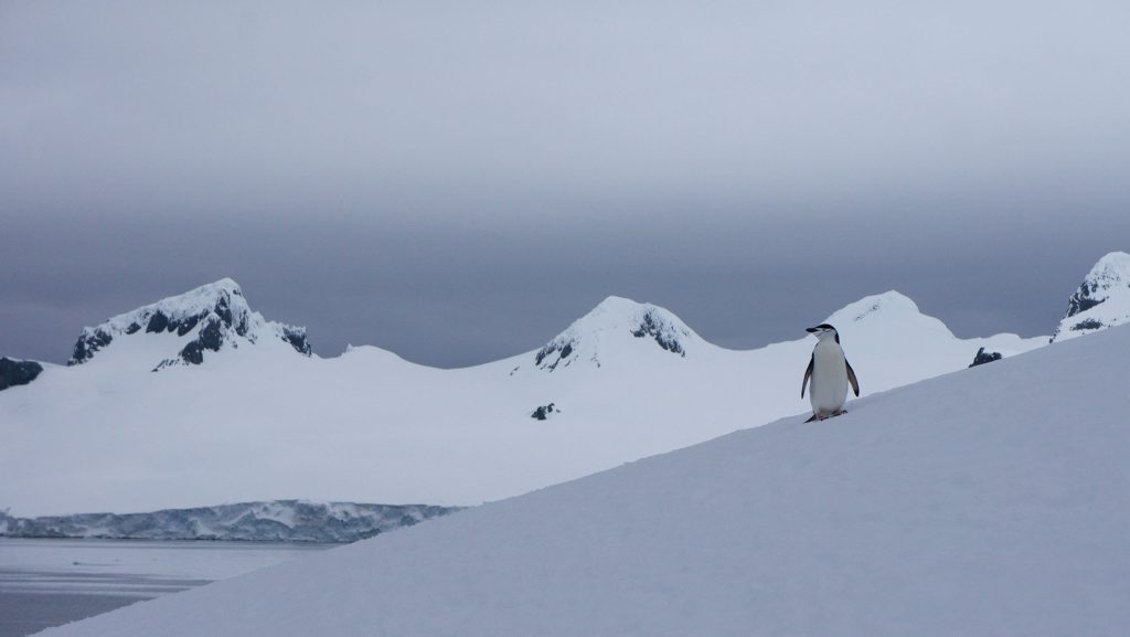A chinstrap penguin surveys his pristine Antarctic world. Photo: Contributed (John Gardiner)
