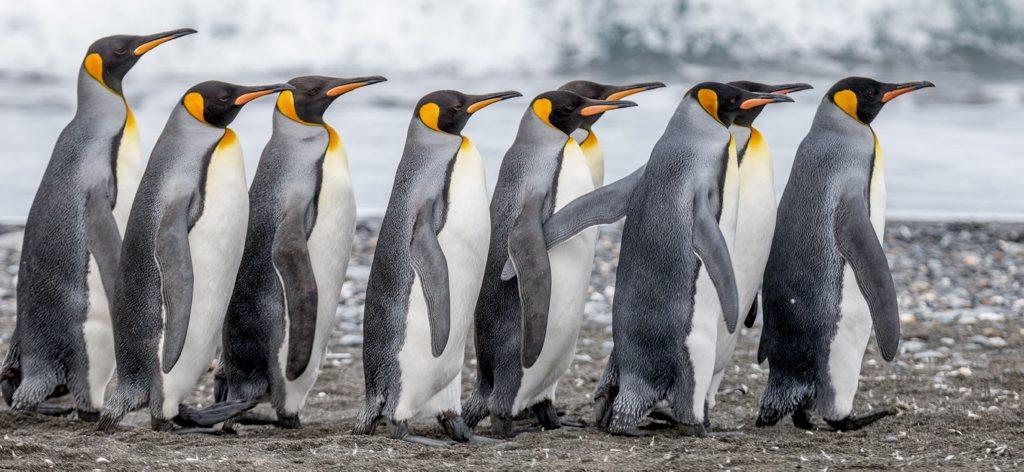 PENGUIN PARADE: King penguins parade to a South Georgia beach after egg-minding duties. Photo: Contributed (John Gardiner)