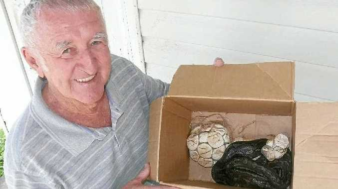LOOKING AFTER MUM: South Grafton snake wrangler Paul Jones is looking after a carpet snake captured at Southgate as she incubates her eggs.