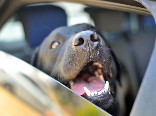 Don't leave your dog in the car, even just to quickly go to the shops.