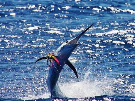 Riley Conor's black marlin strutting its stuff behind Black N Blue on Thursday - Photo John Dwyer