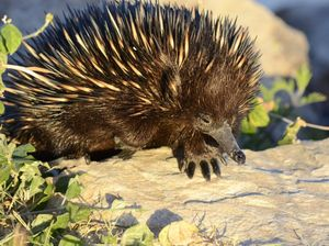 Echidnas in search for mates