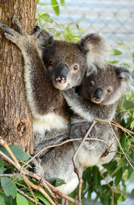 SAVED BY RESIDENTS: Rescued koala mum and bub Desley and Dixie are being cared for after suffering from heat stress during the recent hot weather.