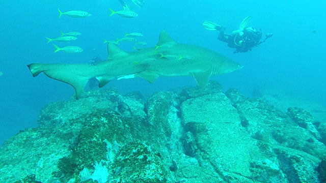 Volunteers assist Reef Check Australia to tag and monitor Grey Nurse sharks