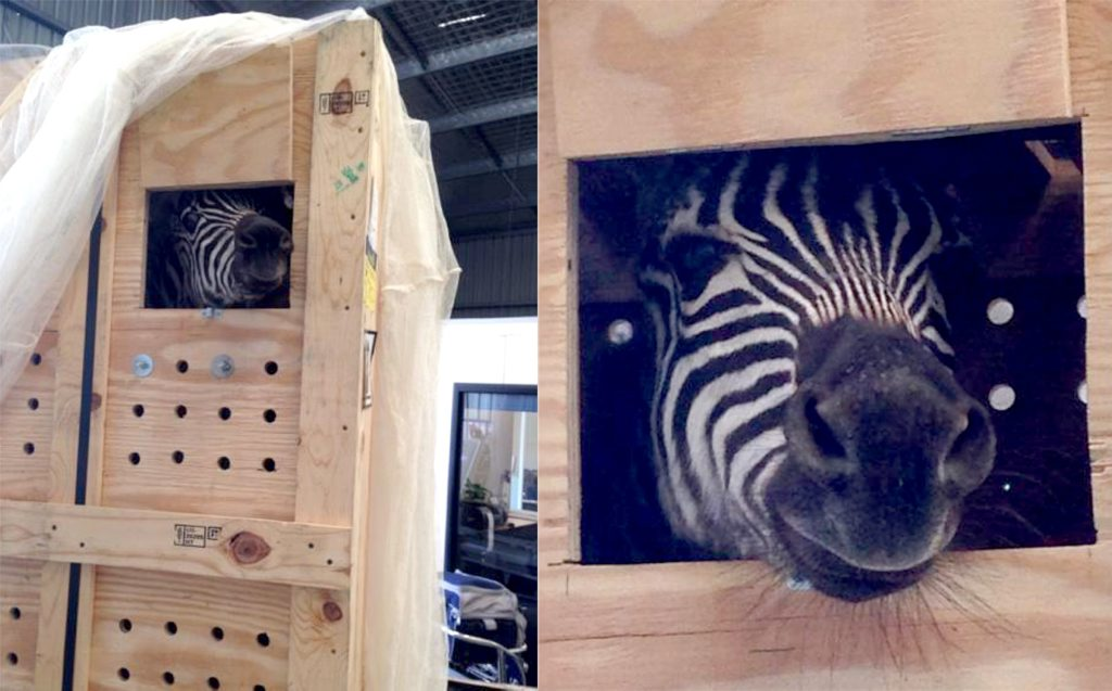 Several zebra flew into the Gold Coast Airport on Monday January 20