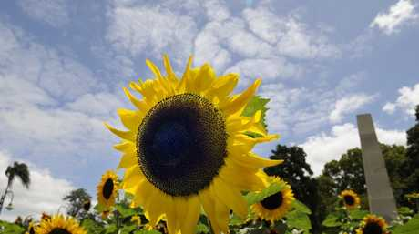Toowoomba Regional Council gardeners have planted sunflowers in three of the city's main gardens - Laurel Bank, Queens Park and Picnic Point.