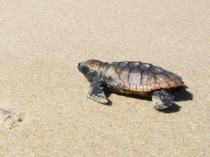 Beach clean-up for baby turtles