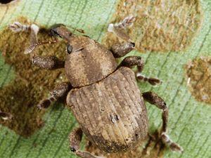 Brazilian bug's Bundy breeding program back on track