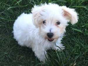 'HEART BROKEN': Tannum mum's dog stolen by pet scammers
