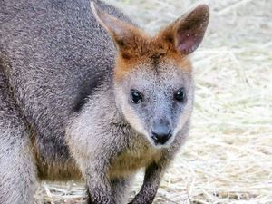 Wallaby beats the odds and hops back home