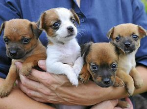 Find a puppy to love at Friends of RSPCA adoption day