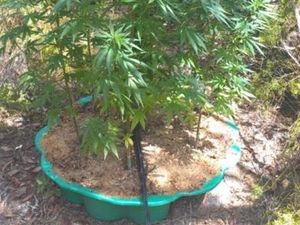 Cannabis plants more than 2m tall found in Gayndah