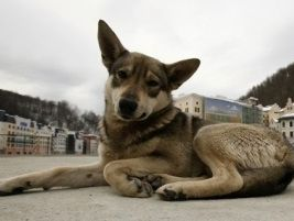 Sochi Winter Olympics to spell death for thousands of dogs
