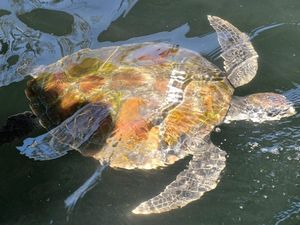 Four turtles rescued last weekend by rehabilitation centre