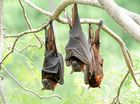 Neighbour not batting an eyelid over flying foxes