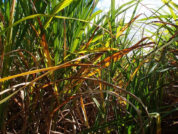JOIN DISCUSSION: Sugar Research Australia will help farmers understand the Yellow Canopy Syndrome situation at its meeting.