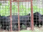 Feral pigs culled after eating $500k worth of macadamias