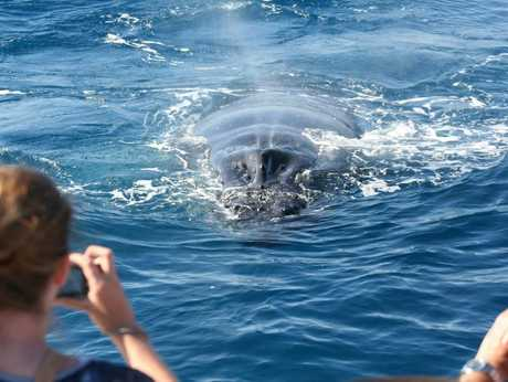 A whale approaches the boat and blows through its blowhole, to the delight of whale watchers.