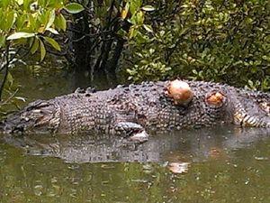 Crocodile found dead in mangroves in Repulse Creek