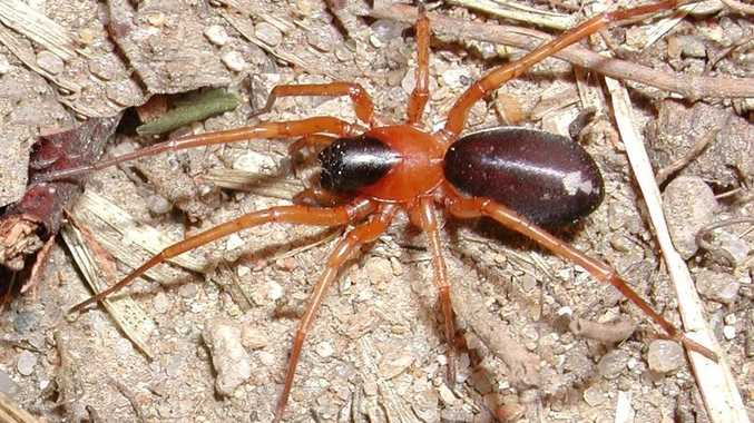 A ground-hunting or swift spider (Corinnidae) called Reinhard's Leichhardt  spider or Leichhardteus Reinhardi has been discovered on Fraser Island.