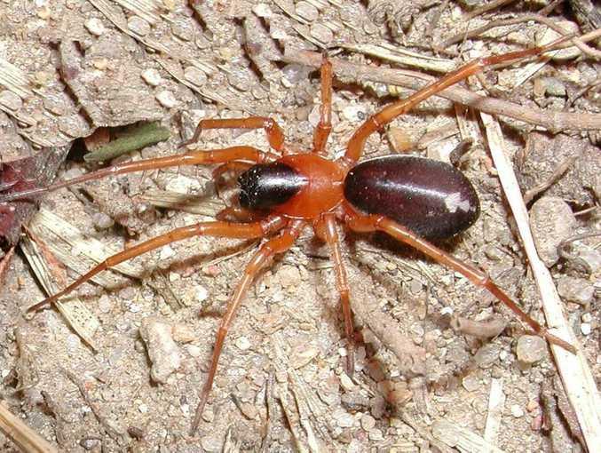 A ground-hunting or swift spider (Corinnidae) called Reinhard's Leichhardt  spider or Leichhardteus Reinhardi has been discovered on Fraser Island.