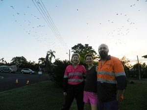 Large flying fox colony on the move