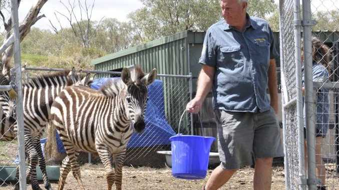 Darling Downs Zoo owner and manager Steve Robinson leads the 10 imported zebras out of quarantine.