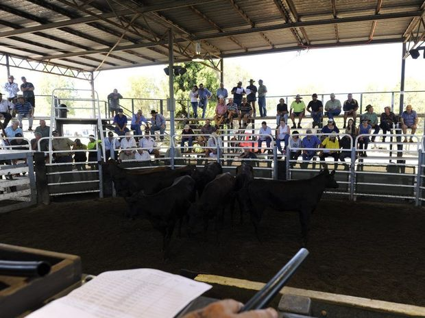 The Nettle Creek Invitational Commercial Female Sale at the South Grafton saleyards on Thursday.