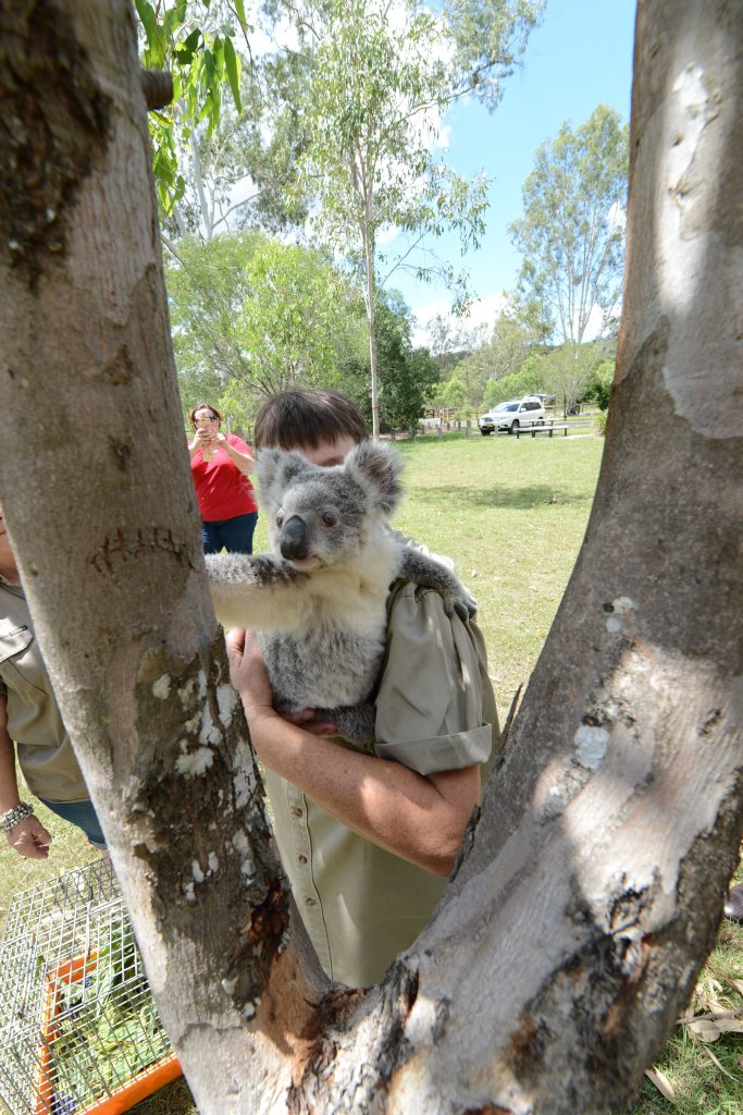 Helen Darbellay releasing a koala at Hardy's campground at Purga on Friday. Photo: Sarah Harvey / The Queensland Times