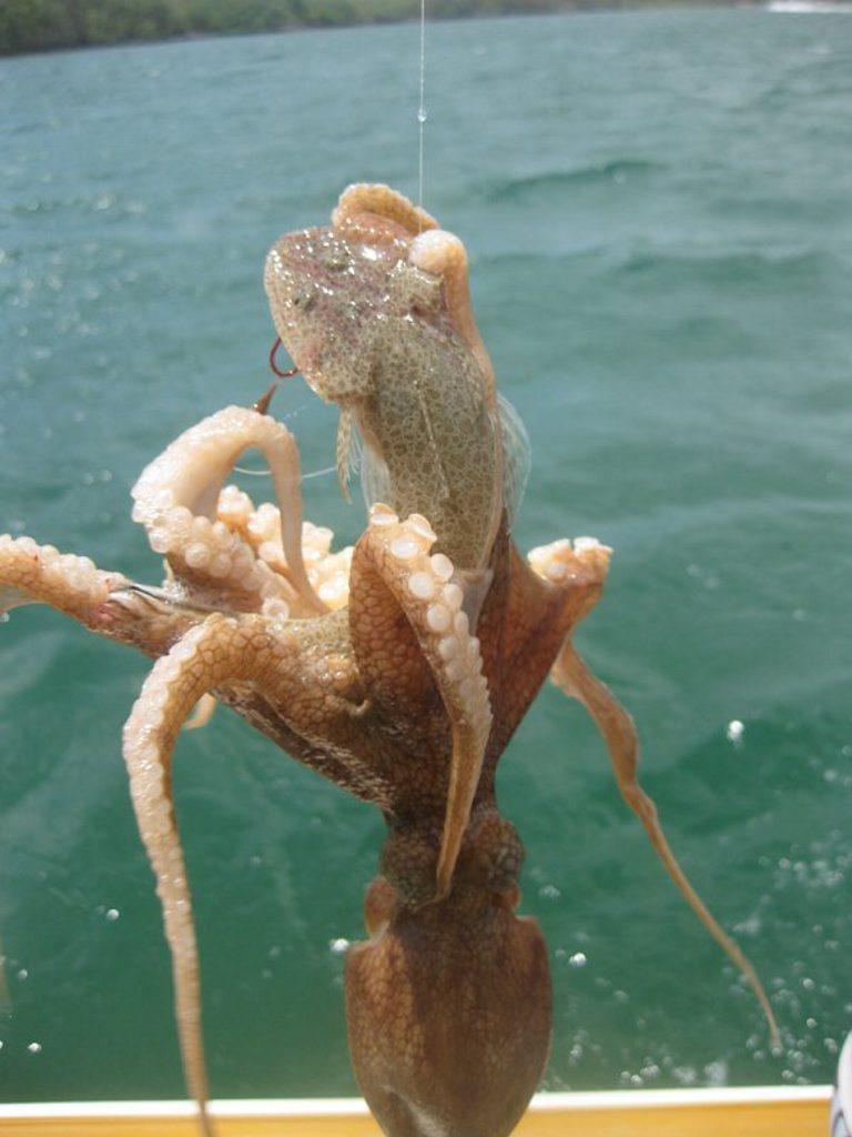 The octopus Chris Ward hooked off Tweed.