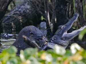 Otter you up to? Oh, just chowing down on an alligator