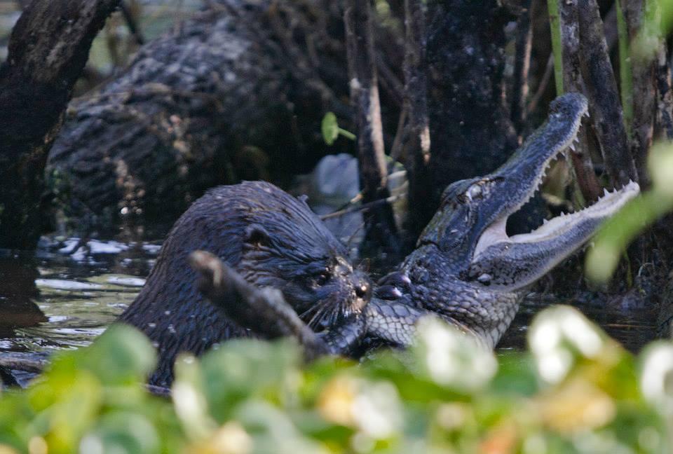 An Otter makes short work of an alligator at Lake Woodruff National Wildlife Refuge.