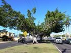 Fig tree removal for motorists' safety: Councillor
