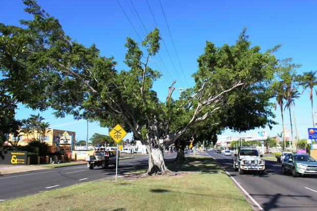 One of the fig trees to be removed.