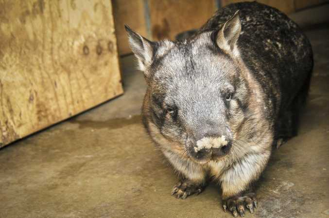 Southern hairy nose wombat