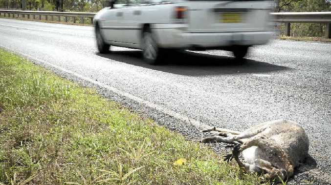 TOO CLOSE: A wallaby on the edge of the Wide Bay Hwy searching for green grass was unfortunate to get hit by a car. A parched landscape has many animals straying close to roads desperate for a meal.