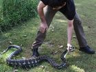 Python that ate pet dog and chain rests on vet's orders