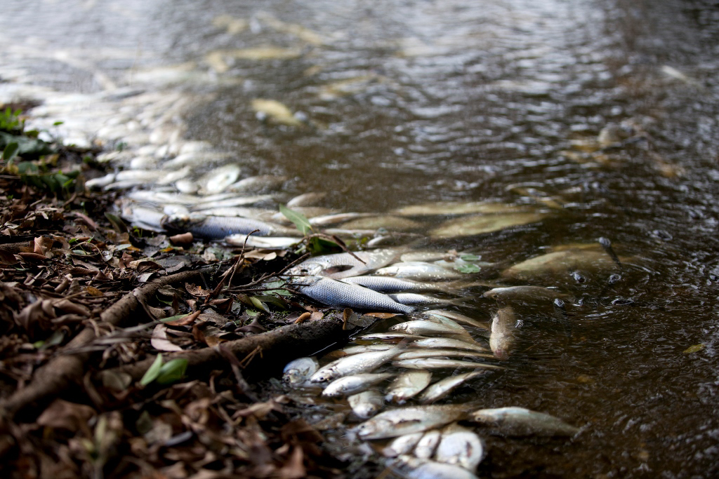 The council has found the cause of hundreds of dead fish.