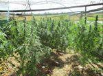 25 cannabis plants seized