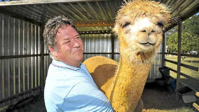 DEFENSIVE INSTINCTS: Alstonville's Roland Schwertner with his alpaca Bella Rose.