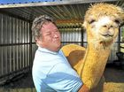 Alpacas raised to sell as watch-camels for sheep flocks