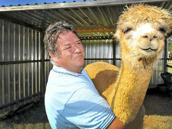 DEFENSIVE INSTINCTS: Alstonville's Roland Schwertner with his alpaca Bella Rose.