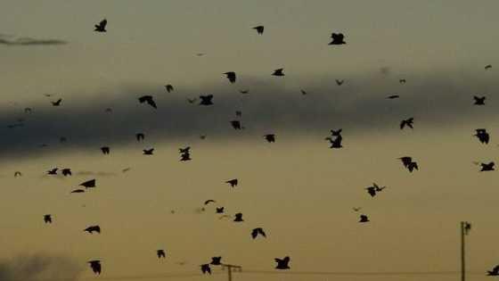 Flying foxes fly over the Toowoomba skyline at dusk last Sunday.