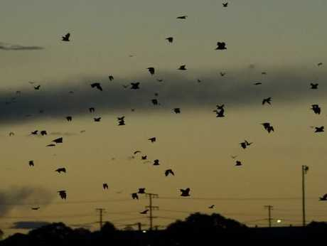 Flying foxes fly over the Toowoomba skyline at dusk.
