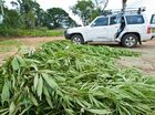 Police process seized cannabis plants near Dairyville.